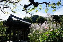 161006海蔵寺シオン3