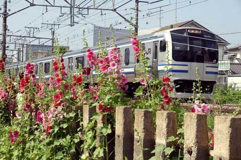090531横須賀沿線タチアオイ
