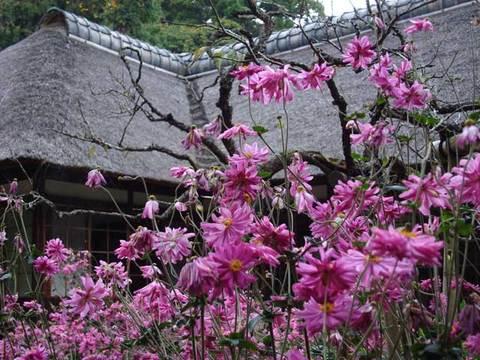 091020浄智寺シュウメイギク