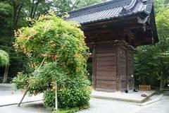 090705妙本寺ノウゼンカズラ