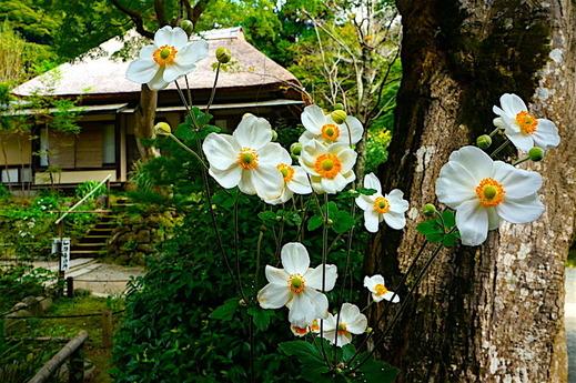 161016浄智寺シュウメイギク1