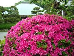 090505浄妙寺ツツジ