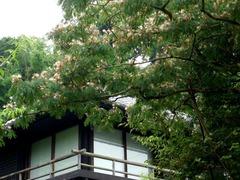 100707東慶寺ネムノキ