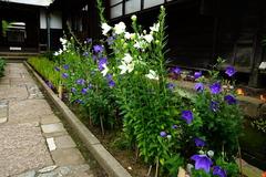 160706海蔵寺キキョウ