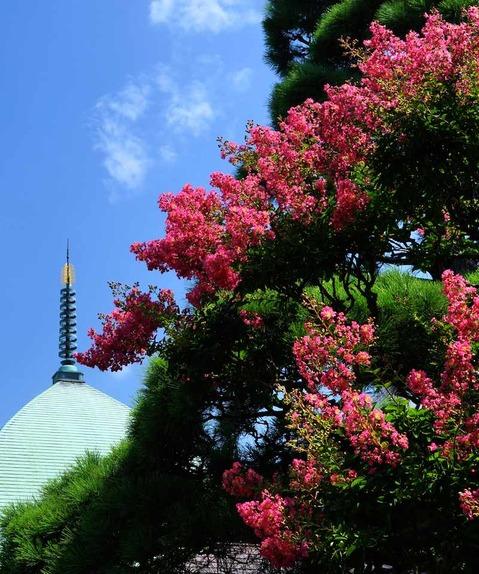 140811本覚寺サルスベリ3