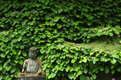 110618東慶寺イワタバコ3