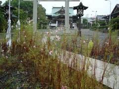 091007龍口神明社コスモス