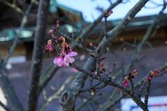 120218鎌倉宮カンヒザクラ