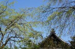 130404安国論寺新緑