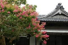 090812本覚寺サルスベリ2