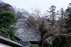 120403円覚寺サクラ