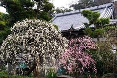 200215常立寺シダレウメ1