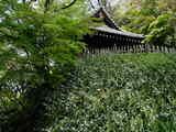 050416妙本寺新緑、シャガ