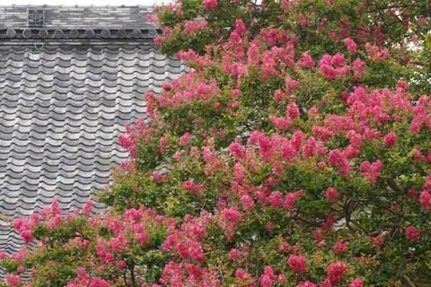 090812本興寺サルスベリ