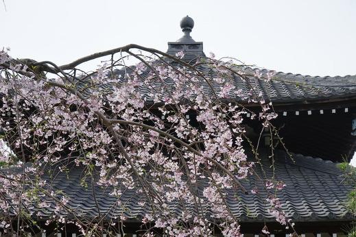 190322本覚寺シダレザクラ1