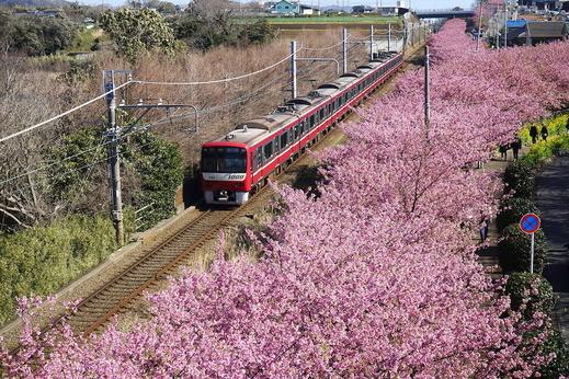 200217三浦海岸駅カワヅザクラ