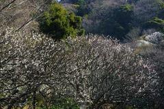 140316瑞泉寺ウメ