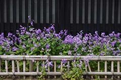 110416東慶寺前ショカッサイ