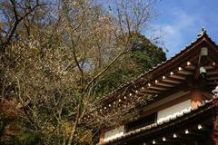 101127長谷寺十月桜