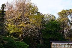 181128鶴岡八幡宮イチョウ