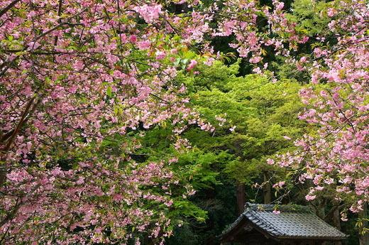160408妙本寺カイドウ2