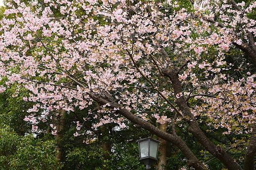 170315鶴岡八幡宮サクラ2