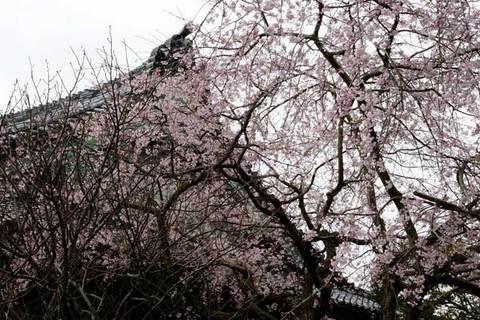 100327本覚寺シダレザクラ
