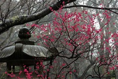120317妙本寺ウメ
