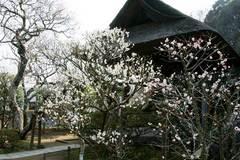 100224東慶寺ウメ1