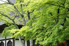080503円覚寺新緑