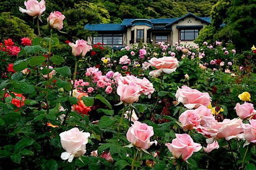 180508鎌倉文学館バラ1