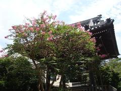 150903本覚寺サルスベリ