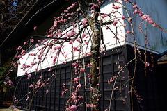180313東慶寺ウメ2