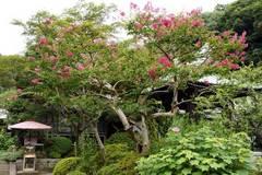 090819海蔵寺サルスベリ