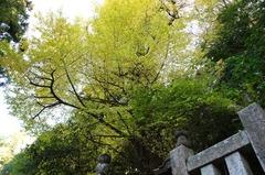 111210妙本寺黄葉