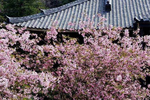 130401妙本寺カイドウ