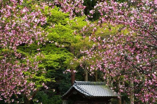 140402妙本寺カイドウ新緑