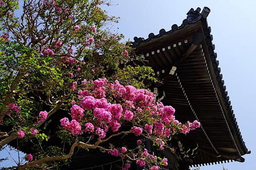 200825本覚寺サルスベリ2