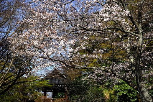 190325妙本寺ソメイヨシノ2