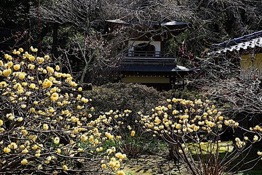 190312浄智寺ミツマタ1