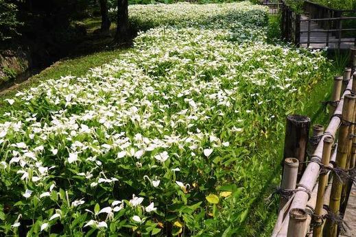 140702鎌倉中央公園ハンゲショウ