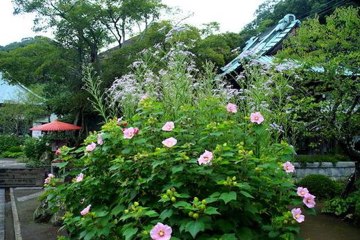 150927海蔵寺シオン、フヨウ