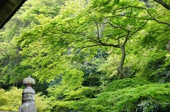 120417妙本寺新緑1