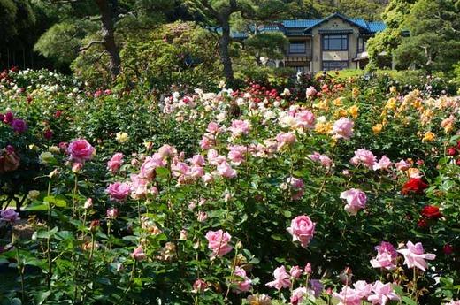 130512鎌倉文学館バラ1