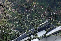 190207東慶寺ウメ2