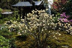 140406海蔵寺ミツマタ