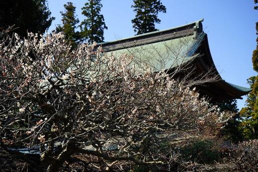 190312円覚寺ウメ1