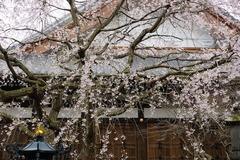 160324本覚寺シダレザクラ3