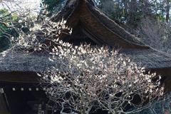 130224東慶寺ウメ