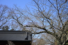 200318妙本寺サクラ
